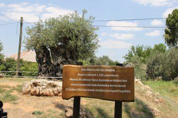 Antalya Zeytinde Yine Söz Sahibi Olmak İstiyor